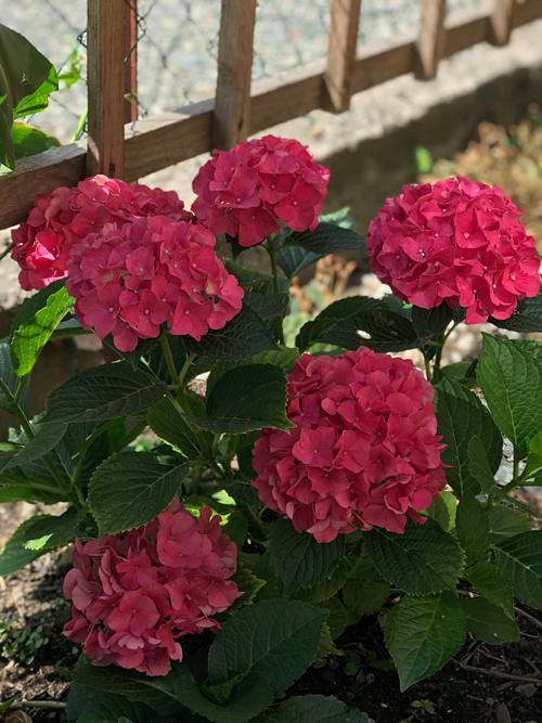 Chị Nga chỉ mới bắt đầu trồng hoa 1-2 năm nay nhưng được mọi người nhận xét là mát tay khi cây nào lớn lên cũng trổ hoa chi chít, bông lớn phổng phao.