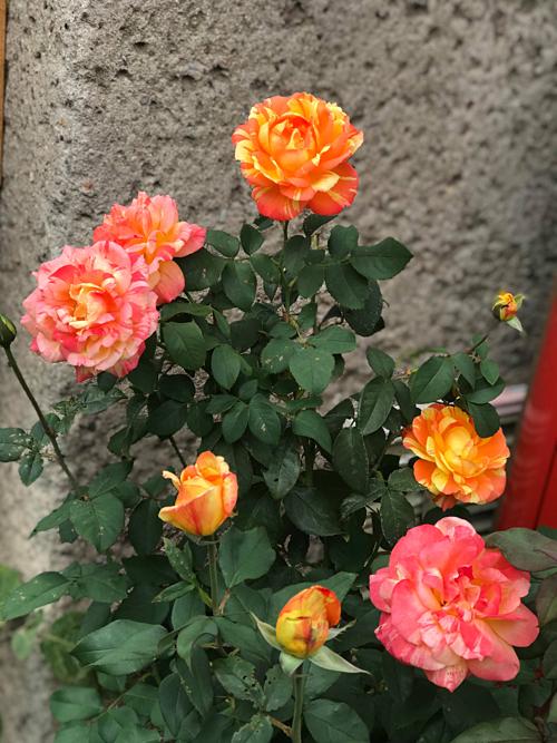 Từ khi có khu vườn, cứ rảnh lúc nào là chị Nga lại tranh thủ chạy ra vườn ngắm bông hoa khoe sắc. Chị nói đùa với bạn rằng nếu kê giường ngủ bên dưới những gốc hoa chị cũng đồng tình.