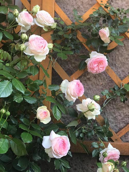 Việc trồng hoa hồng của chị Nga phụ thuộc rất nhiều vào thời tiết. Khi có điều kiện thuận lợi, chỉ khoảng tháng 5 là những cây hồng trong vườn nhà chị Nga đã bung nở rực rỡ.