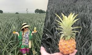 'Sống ảo' ở nông trại dứa Ninh Bình