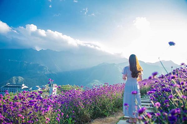 Ngoài ra, vào mùa này, Tổ hợp vui chơi - giải trí Sun World Fansipan Legend rực rỡ với những đồi hoa vàng, hoa tím, đẹp như tranh vẽ