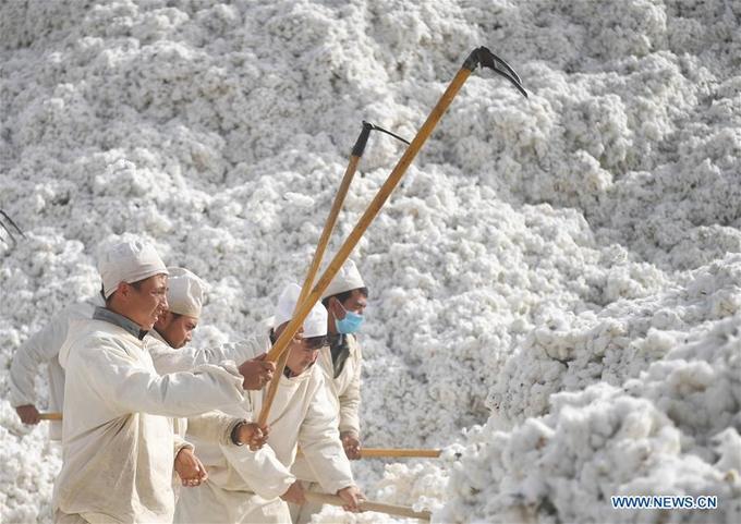 'Vương quốc bông vải' mùa thu hoạch