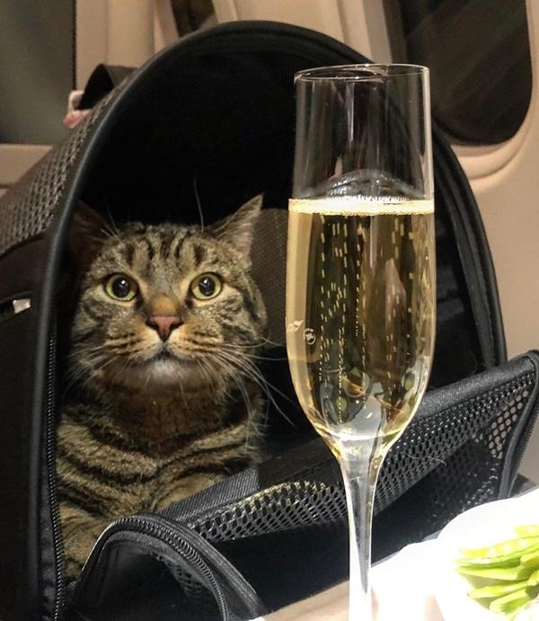 Mèo Viktor sống ảo bên ly champagne.