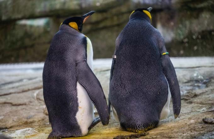 Ping and Skippy, above, are a pair of gay penguins at Berlin Zoo in Germany
