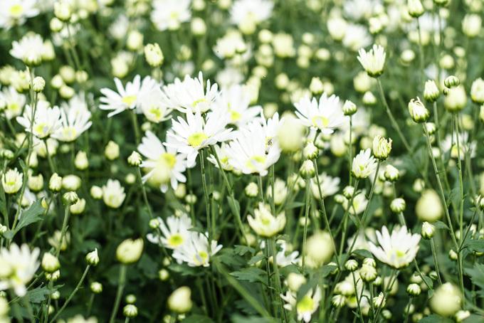 Cúc họa mi là tên gọi của loài hoa mang màu trắng thuần khiết thường nở vào trung tuần tháng 11. Năm nay, do thời tiết, loài hoa này nở muộn hơn so với những năm trước. Cúc họa mi lôi cuốn du khách thập phương cũng như nhiều bạn trẻ bằng vẻ đẹp tinh khôi.
