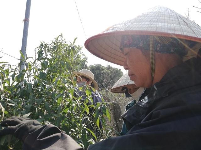 Nhiều người dân tranh thủ thời gian nông nhàn đi tuốt lá đào kiếm thêm thu nhập. Ảnh: Nguyễn Ngoan