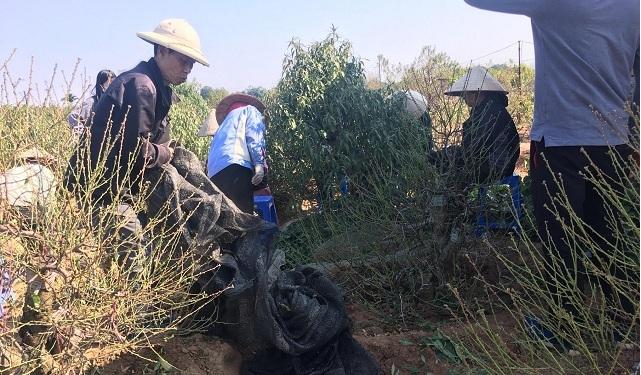 Để đào nở hoa đúng dịp tết, nhiều chủ vườn thuê nhân công với giá 300 nghìn một người, một ngàyđể tuốt lá đào. Ảnh: Nguyễn Ngoan