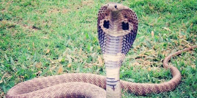 Con rắn hổ mang đuổi theo trả thù Guddu. Ảnh: PTI.