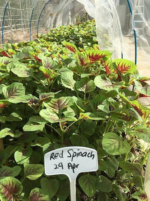 Trong khu vườn đặc biệt này, các học sinh trồng cải xoăn, bắp cải, rau diếp, bầu, bí, rau dền, rau muống..