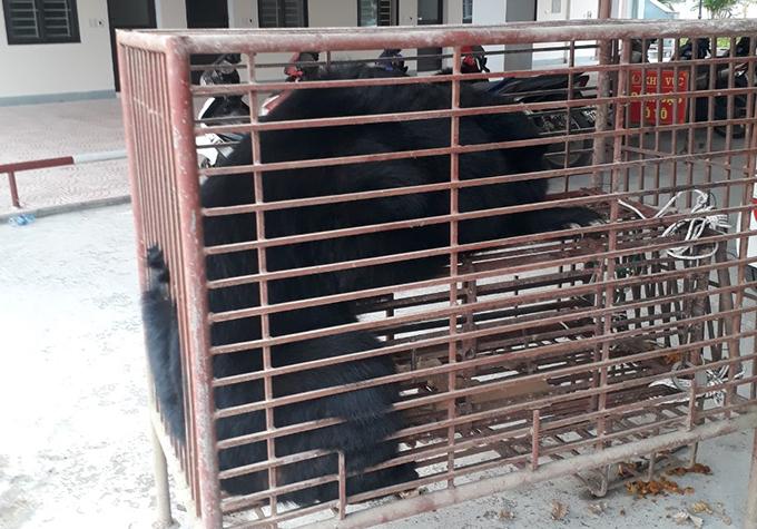 Gấu ngựa sau khi được giải cứu. Ảnh: Hùng Lê