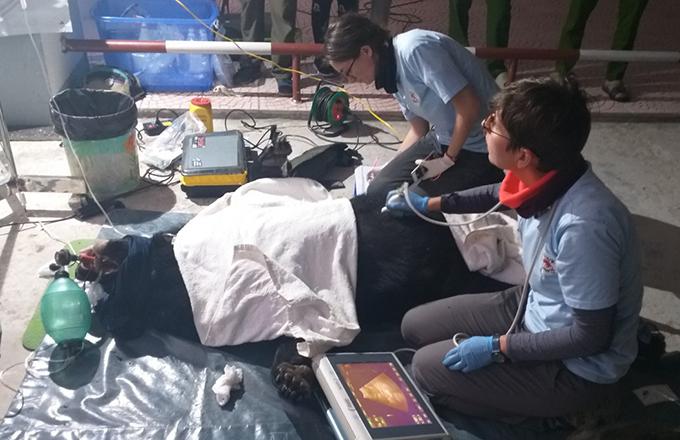 Gấu được nhân viên cứu hộ tiêm thuốc mê để chuyển ra Ninh Bình chăm sóc. Ảnh: Hùng Lê
