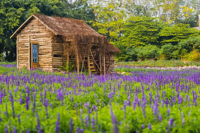 Thảm hoa tím sống ảo như trời Âu ở Hà Nội
