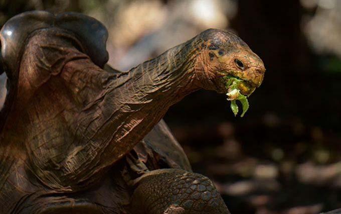 Rùa Diego hiện 100 tuổi. Ảnh: AFP.
