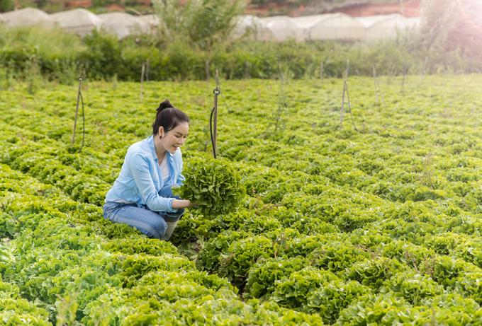 Lý Nhã Kỳ có cả một mảnh ruộng rộng trồng rauxà lách tươi non mơn mởn trên Đà Lạt.
