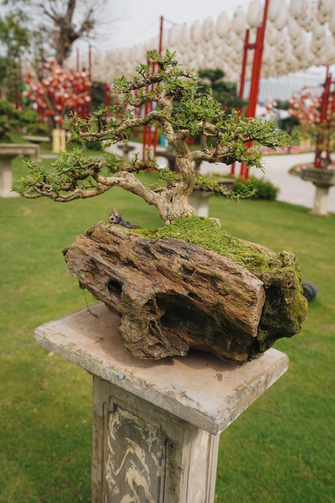 Những người yêu thích Bonsai sẽ được tận mắt ngắm nhìn các tác phẩm quý được nghệ nhân chăm sóc tỉ mẩn.