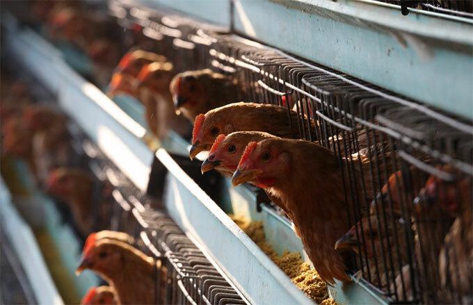 Một trang trại nuôi gà ở Trung Quốc. Ảnh: SCMP.