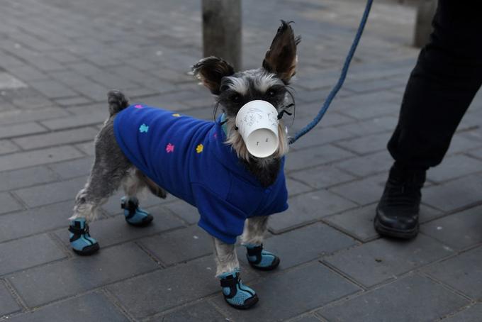 Thú nuôi ở Trung Quốc cũng được chủ nhân đeo khẩu trang làm bằng chiếc cốc giấy khi đi dạo trên đường phố. Ảnh: AFP.