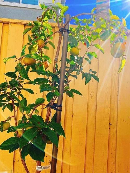 Một cây hồng trĩu quả được Phạm Hương khoe trên trang cá nhân. Hoa hậu nói thêm mùa hè cây cối đươm hoa kết trái nhiều hơn, so với mùa đông hiện tại chỉ có hồng và cam.