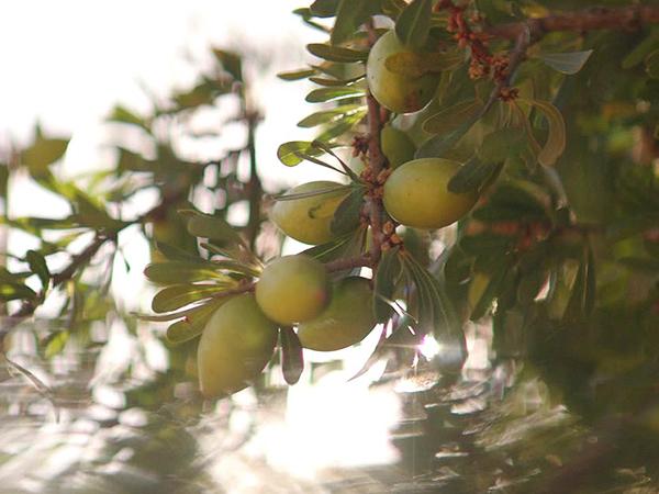 Từ lâu, argan đã được phụ nữ khắp vùng Địa Trung Hải ứng dụng trong làm đẹp để chăm sóc làn da, mái tóc.Cây argan mọc ở những vùng bán sa mạc của khu vực Địa Trung Hải. Dầu argan nguyên chất là loại dầu quý hiếm được thu hoạch và chiết xất từ hạt cây argan.