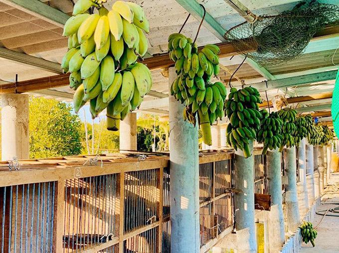 Trong khi vợ nuôi 16 con chó thì Quách Ngọc Ngoan có cả trang trại rộng lớn ở Đồng Nai. Anh trồng chuối nuôi chồn hương và nhiều gia súc, gia cầm để có nguồn thực phẩm sạch.