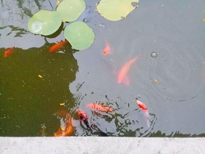 Kiều Chinh trồng hoa, nuôi cá trong khu vườn 5.000m2 - 6