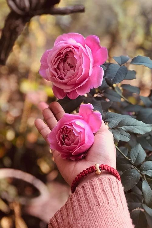 Kiều Trinh thích trồng các loại hoa có nhiều màu sắc để khu vườn lung linh dưới ánh nắng. Đặc biệt, cô mua và trồng khá nhiều loại hoa hồng với hơn 20 loài khác nhau.