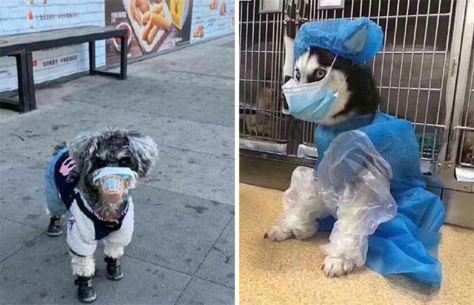 Nhiều người cẩn thận mặc cả đồ bảo hộ cho cún. Ảnh: Weibo.