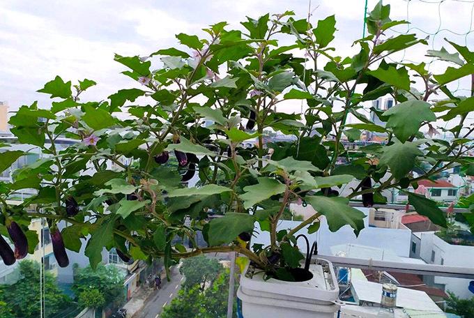 Cô trồng cà tím bằng phưng pháp thuỷ canh và bây ngờ khi cây cho trái rất sai.