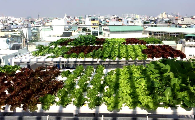 Xuân Hiếu trồng tới 5 loại xà lách khác nhau phù hợp sở thích của tất cả thành viên trong gia đình.