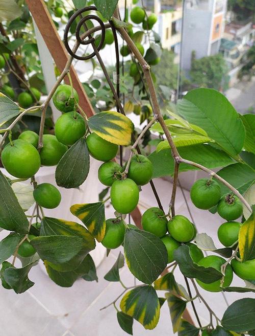 Ngoài khu vực trồng rau sạch, nữ MC còn có khu trồng cây ăn quả. Cây táo ta đã cho những đợt thu hoạch đầu tiên.