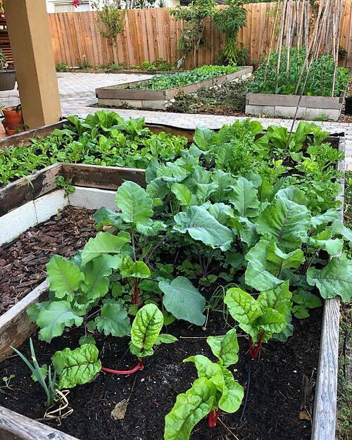Từ khu vườn ban công kích thước 4x6, trồng một vài loại rau, cây gia vị ở Boston, vợ chồng chị Tiên giờ đã sở hữu cả một không gian xanh rộng lớn khi gia đình họ chuyển tới Miami.