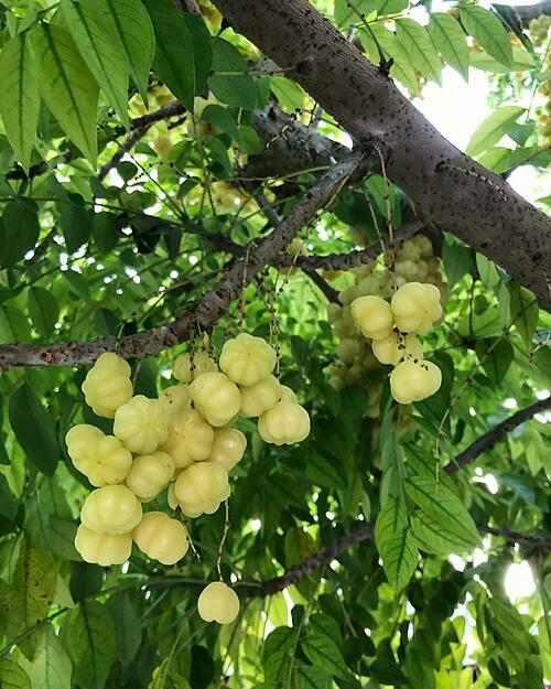 Cây chùm ruột trĩu quả trong vườn nhà chị Tiên.