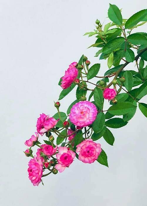 Hoa hồng Vinyardsong.