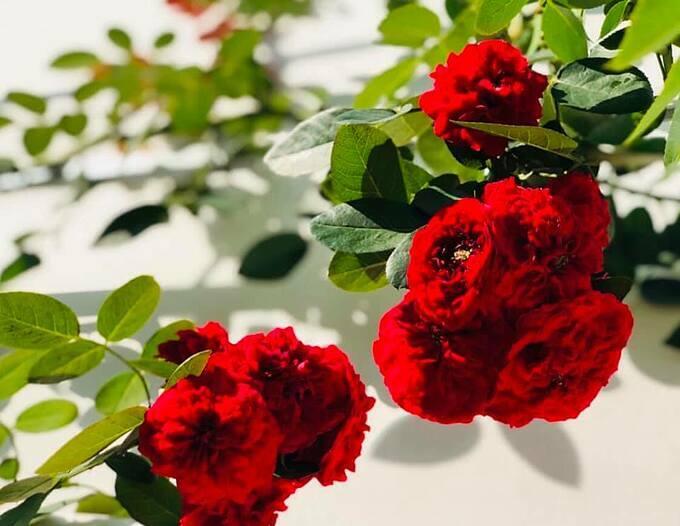 Yếu tố quan trọng để trồng được hoa hồng là nơi trồng phải có nắng, khoảng 5-6 giờ/ngày và thông thoáng. Nếu trồng cây ở hướng Tây, chị Dạ Thảo lưu ý tưới đẫm nước cho cây vào sáng sớm và chiều mát.