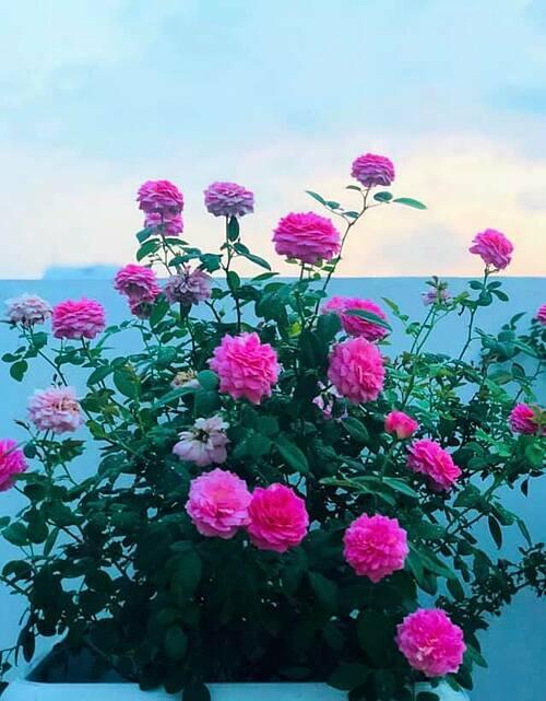 Những bông hồng nở rộ được chị Thảo cắt xuống cắm trong nhà hoặc sấy khô làm trà.