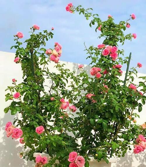 Hoa hồng Pomponella.