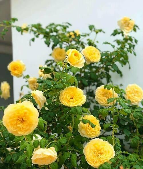 Golden Globecứ khoảng 1 tháng lại ra một đợt hoa mới.