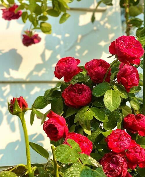 Hoa hồng ngoại trong vườn nhà chị Thảo chủ yếu là các giống Nhật, Anh, Pháp... Sau một đợt hoa, chị thường cắt tỉa đồng loạt các cành để cây ra hoa lứa sau cùng lúc. Dù vậy, do cành nhánh to - nhỏ khác nhau nên nhiều khi cây cũng ra hoa không như ý mình muốn.