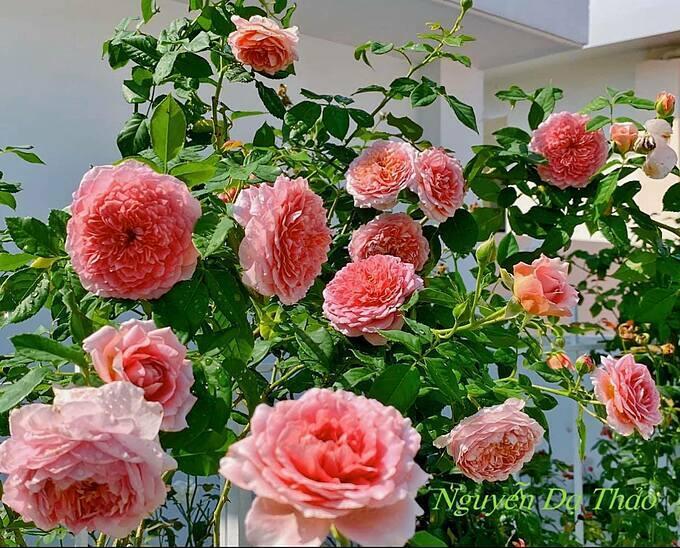 Hoa hồng Robe A La Francaise -một giống hồng Nhật. Cây trồng vườn nhà chị Thảođược một năm, sinh trưởng khá mạnh, hoa chùm, lặp hoa nhanh, hương trà xanh, lúc hoa gần tàn cánh chuyển màu nhạt dần.