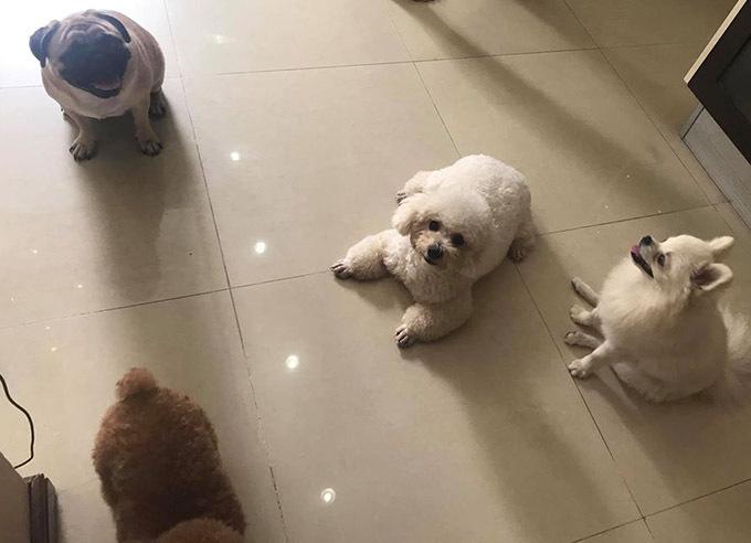 Đàn chó đủ loại quanh quẩn trong căn biệt thự rộng lớn. Do con gái lớn đang du học ở Mỹ, con gái út học tại Hà Nội nên các chú chó là nguồn vui của Phượng Chanel - Quách Ngọc Ngoan sau những giờ làm việc. Đi làm xong chỉ muốn về nhà ngay để chơi với các em, Phượng Chanel nói.
