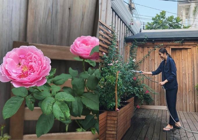 Tăng Thanh Hà yêu thích trồng hoa hồng và thường khoe thành quả đạt được.