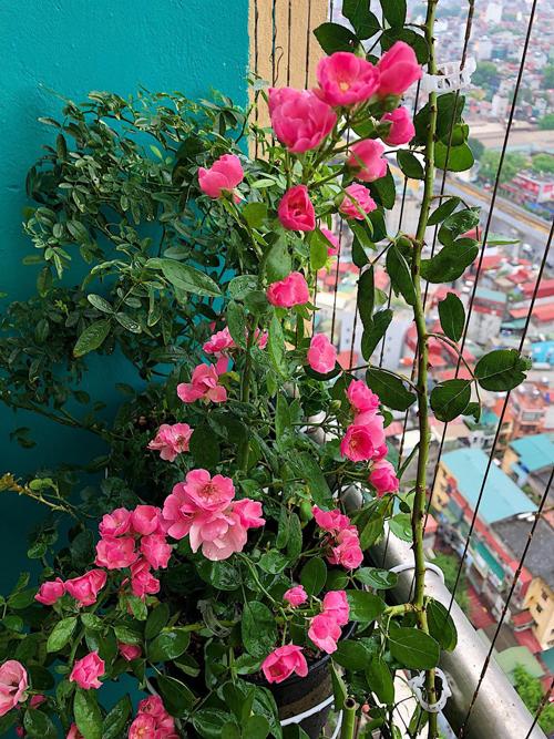 Ban công nhà tôi ở hướng đông nam, sáng nắng, chiều mát, lại cao tầng, đón nhiều gió nên rất thích hợp với việc trồng hoa hồng, chị kể về thuận lợi bước đầu trong chăm sóc hoa.