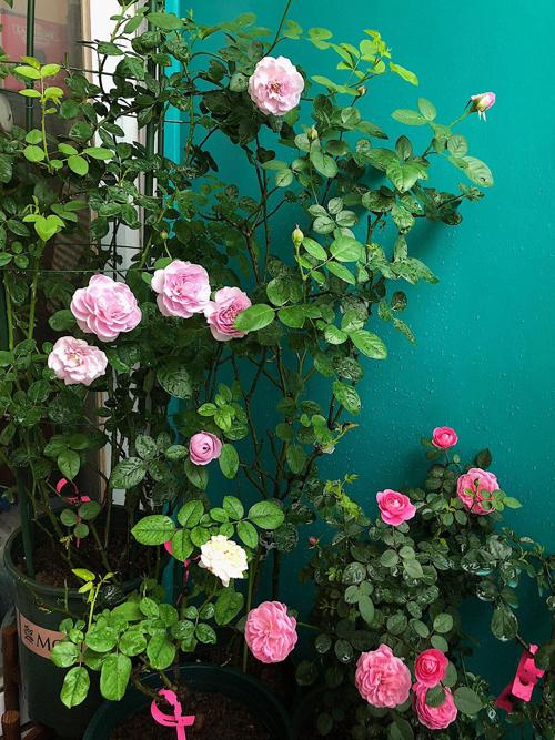 Hồi mới bất đầu, chị Phương chỉ trồng khoảng 5 chậu hoa. Thấy hồng phát triển tốt, tôi bắt đầu mua thêm nhiều giống hoa mới, kỷ lục là trồng tới 30 chậu. Tuy nhiên, lúc đó khí hậu mưa ẩm không phù hợp, khiến cây thối thân và nấm bệnh rất nhiều. Vì vậy, tôi phải giảm số lượng hoa, chỉ trồng khoảng 20 chậu, chị chia sẻ.
