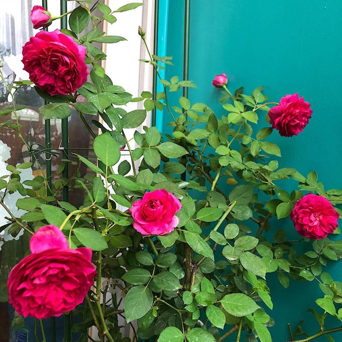 Chị cho rằng giống hoa tốt chỉ đóng góp 50% vào sự thành công trong việc hoa lên tốt, nở đẹp vì còn phụ thuộc yếu tố hướng nắng, gió, không gian, nước tưới. Thời tiết cũng đóng vai trò quan trọng trong việc trồng hoa vì hồng hợp trời lạnh hanh khô. Hoa hồng mùa đông dày, to, nhiều cánh còn mùa hè bé xíu, còi cọc dù chế độ chăm sóc giống nhau.