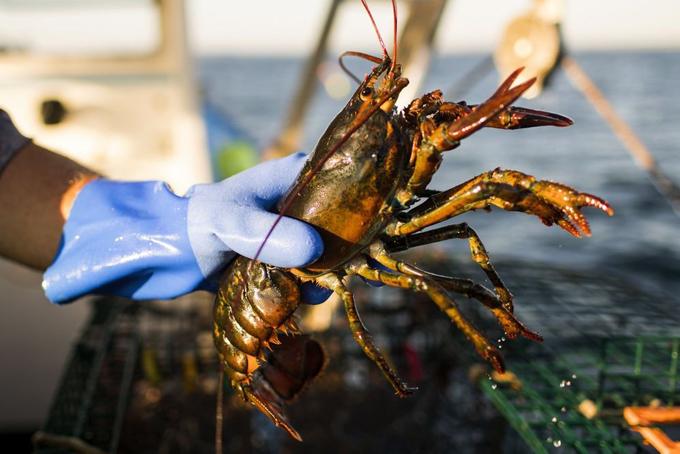 Tôm hùm Mỹ được đánh bắt ở vùng biển Massachusetts vào mùa đánh bắt năm 2018. Ảnh: Bloomberg.