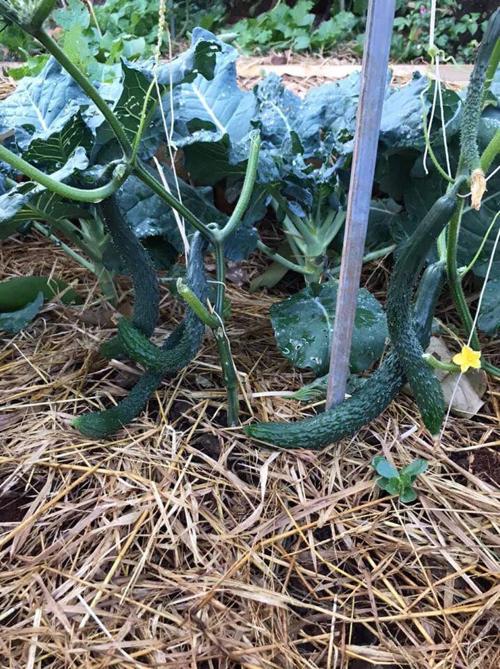Chị phủ rơm lên trên bề mặt nhằm giữ độ ẩm cho cây trồng vì nơi gia đình chị sinh sống thường có nắng gắt.