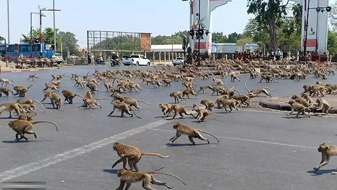 Hàng trăm con khỉ chạy khắp đường phố Lopburi, Thái Lan. Ảnh: Viral Press.
