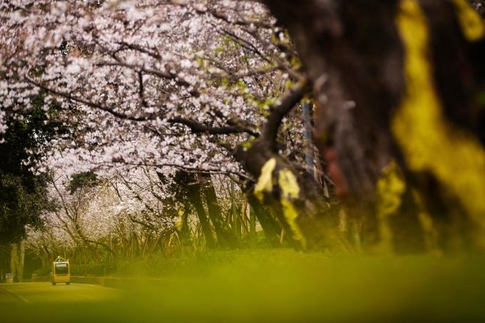 Hiện trường có hơn 1.000 cây hoa anh đào khoe sắc khi xuân về. Những cây anh đào này được trồng từ thời chiến tranh Trung - Nhật cuối những năm 1930 cho đến nay.