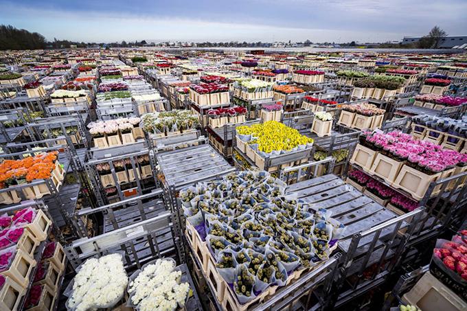 Làng hoa ở Hà Lan bị phá huỷ vì Covid-19