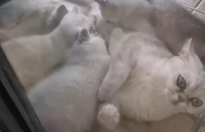 Le Le bên cạnh bốn con mèo con. Ảnh: Pear Video.